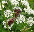 Spilostethus saxatalis - Flickr - gailhampshire.jpg