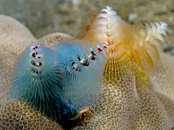 Spirobranchus giganteus (Blue and peach chrstmas tree worms).jpg