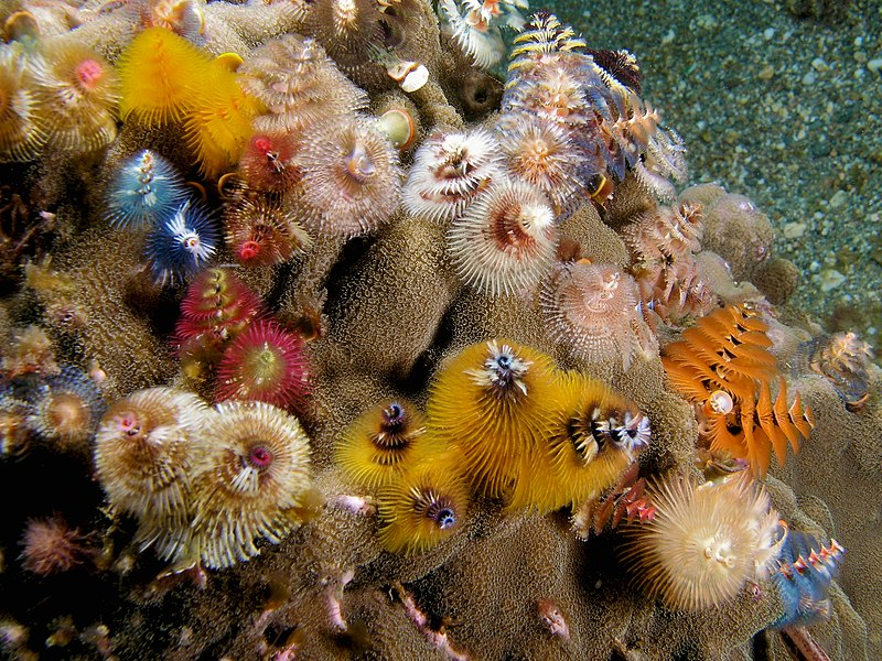 Spirobranchus giganteus (Red and white christmas tree worm)