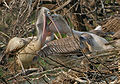 Spot-billed Pelican (Pelecanus philippensis) feeding a juvenile in Garapadu, AP W IMG 5254.jpg