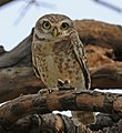 Spotted owlet (Athene brama indica) (cropped).jpg