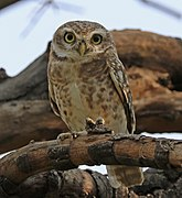 A spotted owlet on a branch