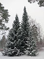 Spruces covered in snow, Finland, Kangasala.jpg