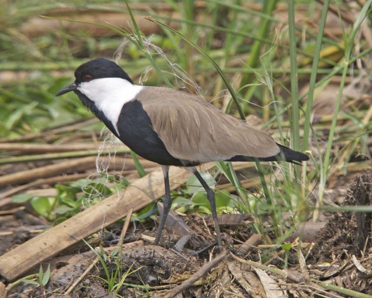 File:Spur-winged lapwing (Vanellus spinosus).jpg