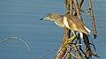 Squacco Heron (Ardeola ralloides) (6018186886).jpg