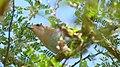 Squirrel Cuckoo (Piaya cayana) just caught a longhorn beetle.jpg