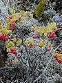 Starr-011003-0148-Polypodium pellucidum-fruit-Holua HNP-Maui (24247108140).jpg