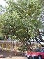 Starr-011104-0003-Calophyllum inophyllum-habit-Kaleplepo-Maui (24175399169).jpg