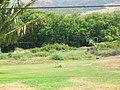 Starr-050517-1441-Bassia hyssopifolia-habit-Kakahaia-Molokai (24669445901).jpg