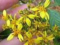 Starr-060329-6818-Bidens micrantha subsp micrantha-flowers-Maui Nui Botanical Gardens-Maui (24741117262).jpg
