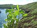 Starr-060405-9085-Chenopodium murale-habit-Molokini-Maui (24233160143).jpg
