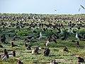 Starr-080531-4714-Lobularia maritima-habit with Laysan albatross-Parade field Sand Island-Midway Atoll (24282482814).jpg
