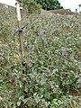 Starr-090421-6293-Solanum melongena-crop-Pukalani-Maui (24584801959).jpg