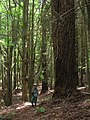 Starr-090521-9236-Sequoia sempervirens-large tree with Forest-Polipoli-Maui (24838688172).jpg