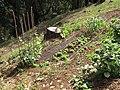 Starr-090707-2390-Lactuca sativa-in vegetable garden-Olinda-Maui (24851042642).jpg