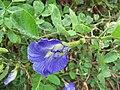 Starr-090806-3833-Clitoria ternatea-flower and leaves-Wailuku-Maui (24340792654).jpg