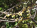 Starr-090806-4018-Phyllanthus acidus-fruit-Kahului-Maui (24971771545).jpg