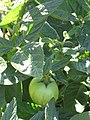 Starr-091020-8376-Solanum muricatum-fruit-Kula Experiment Station-Maui (24359602083).jpg