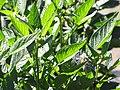Starr-091020-8377-Solanum muricatum-flowers and leaves-Kula Experiment Station-Maui (24986468825).jpg