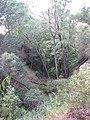 Starr-091029-8726-Aleurites moluccana-habit-Olinda-Maui (24691727960).jpg