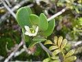 Starr-091104-0710-Scaevola coriacea-flower and leaves-Kahanu Gardens NTBG Kaeleku Hana-Maui (24356692314).jpg