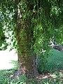 Starr-091104-0895-Afrocarpus falcatus-trunk and base-Kahanu Gardens NTBG Kaeleku Hana-Maui (24987796385).jpg