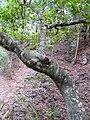 Starr-091115-1159-Aleurites moluccana-trunk-Olinda-Maui (24871979742).jpg