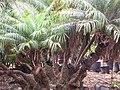 Starr-100121-1524-Phoenix roebelenii-cluster habit-Kihei Garden and Landscape Wailuku-Maui (24981250456).jpg
