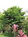 Starr-110330-3638-Persea americana-habit-Garden of Eden Keanae-Maui (25054212886).jpg