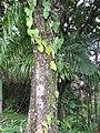 Starr-110330-3655-Philodendron sp-habit-Garden of Eden Keanae-Maui (24453719563).jpg