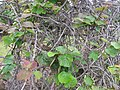 Starr-120620-9728-Actinidia deliciosa-leaves-Kula Agriculture Station-Maui (24889837200).jpg