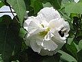 Starr-130312-2388-Hibiscus mutabilis-flowers white with Sonoran carpenter bee-Pali o Waipio Huelo-Maui (24580434713).jpg