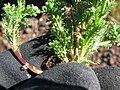 Starr-130801-2784-Matricaria discoidea-leaves and stem-Summit HNP-Maui (24632354733).jpg