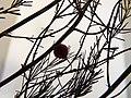 Starr-131208-2711-Asparagus officinalis-voucher 130618 01 fruit-N Kihei Rd Kealia Pond-Maui (25135163241).jpg
