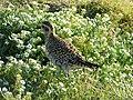 Starr-150326-0619-Lobularia maritima-Pacific Golden Plover-Charlie Barracks Sand Island-Midway Atoll (25173381071).jpg