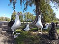 Starr-150326-4360-Coronopus didymus-Laysan Albatrosses-FWS Office Sand Island-Midway Atoll (24640787283).jpg
