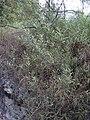 Starr 031114-0005 Acacia retinodes.jpg