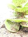 Starr 040323-0013 Portulaca molokiniensis.jpg