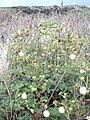 Starr 040514-0241 Leucaena leucocephala.jpg