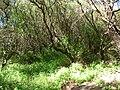 Starr 050108-3015 Prosopis pallida.jpg