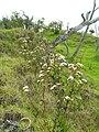 Starr 060429-7998 Ageratina adenophora.jpg