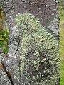 Starr 060429-8017 Nothocestrum latifolium.jpg
