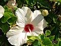 Starr 070207-4306 Hibiscus rosa-sinensis.jpg