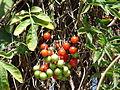 Starr 070228-4905 Solanum seaforthianum.jpg