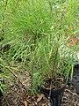 Starr 070906-8605 Otatea acuminata subsp. aztecorum.jpg