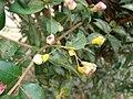 Starr 080326-3709 Myrtus communis.jpg