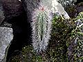 Stenocereus griseus H.JPG