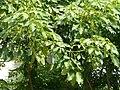 Sterculia foetida 掌葉蘋婆 (天問).jpg