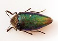 Sternocera pulchra - 10-01-13 - Dodoma - Tanzania (9660311845).jpg