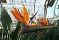 Strelitzia reginae 0zz.jpg